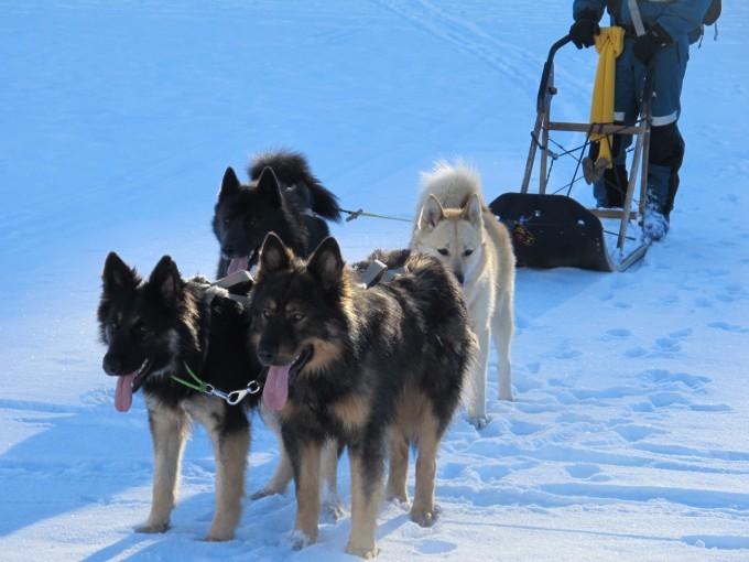 La précision des chiens de berger en tête et l'endurance des nordiques