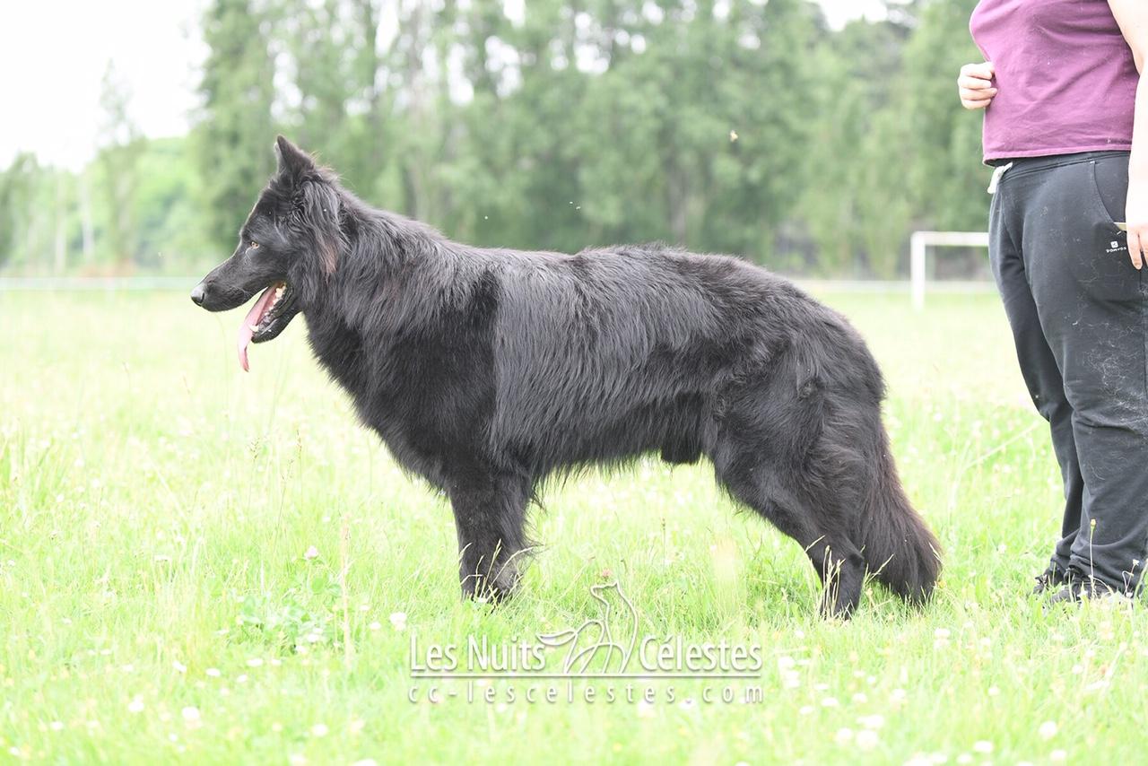 chiens-Berger-Allemand-Poil-Long-7d1623b3-873a-6414-9d2c-4f543e87d966