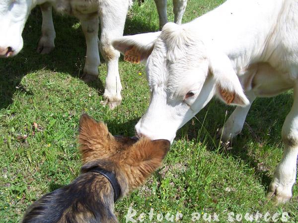 rencontre avec les vaches